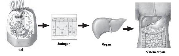 Gambar: Keterkaian Sel-Jaringan-Organ-Sistem Organ